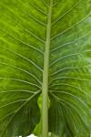 Veiny Giant Taro Leaf