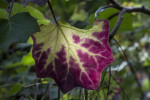 Veiny Leaf which has Yellow to Purple Colors