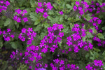 Verbena canadensis Light-Purple Flowers