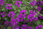 Verbena canadensis Light-Purple Flowers