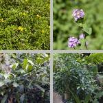 Verbena photographs