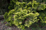 """Verdoni"" Japanese Cypress Branches"