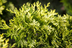 """Verdoni"" Japanese Cypress Green and Yellow Leaves"