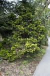 """Verdoni"" Japanese Cypress Tree"