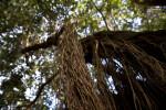 Vertical Pōhutukawa Roots