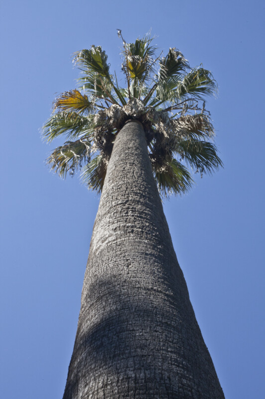 Vertical View of a California Fan Palm at Capitol Park in Sacramento