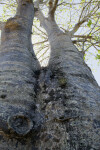 Vertical View of Baobab Tree