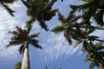Vertical View of Palm Trees