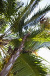 Vertical View of Paurotis Palm