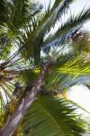 Vertical View of Paurotis Palm