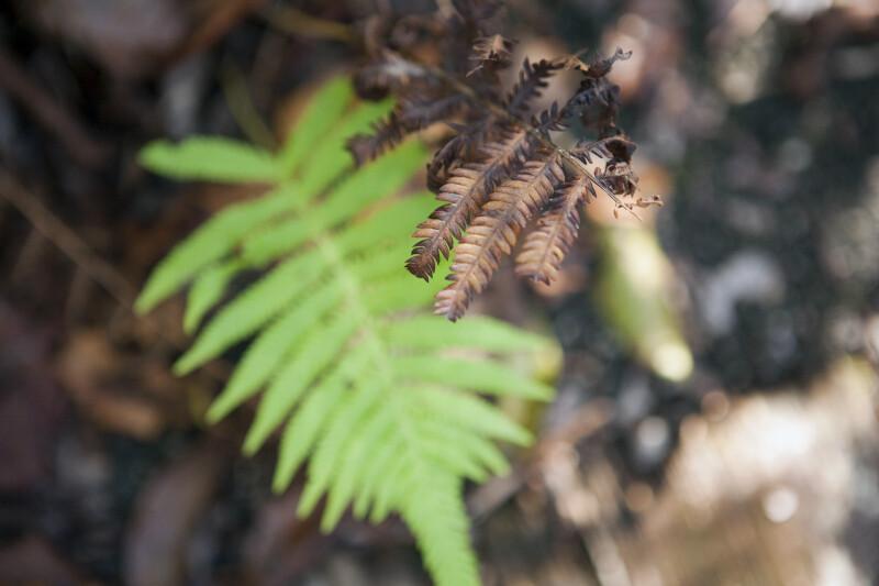 Very Dry Fern Leaves