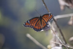 Viceroy at Shark Valley of Everglades National Park