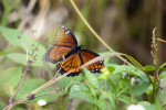Viceroy Butterfly at Anhinga Trail
