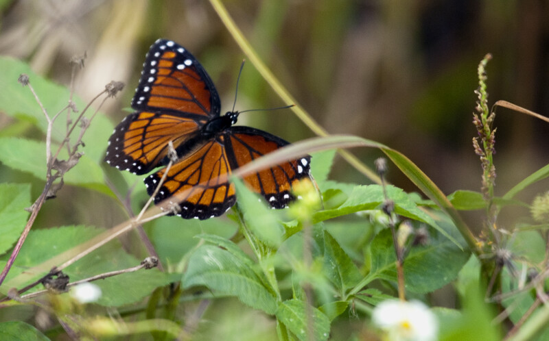 Viceroy Butterfly with Spread Wings