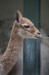 Vicuña Chewing on Blade of Grass at the Artis Royal Zoo