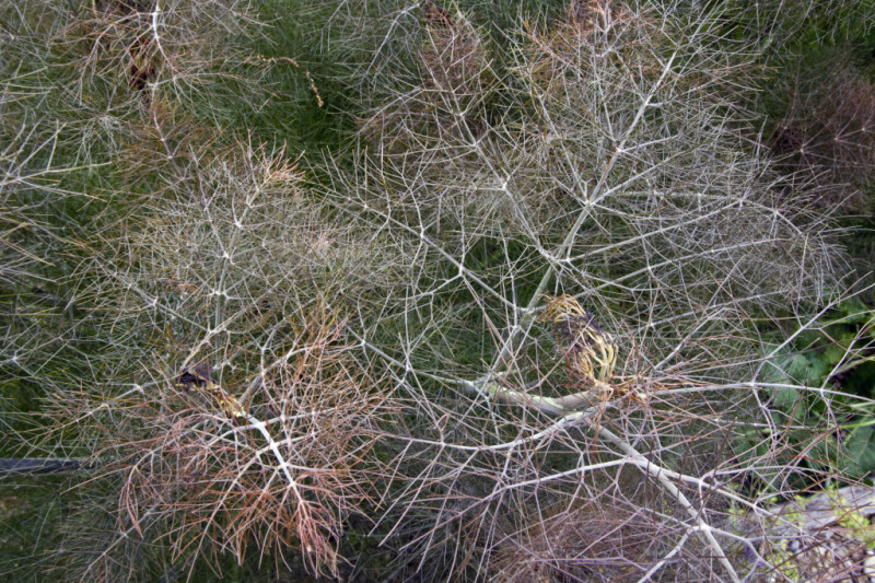 View from Above of a Bronze Fennel Plant