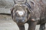 View From Front of Indian Rhinoceros