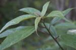 Villebrunea pedunculata Green Leaves