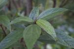 Villebrunea pedunculata Leaves