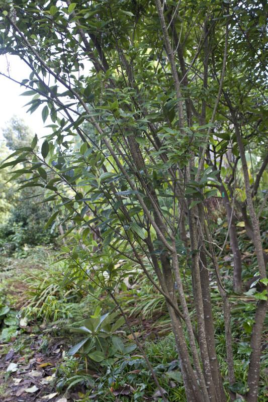 Villebrunea pedunculata