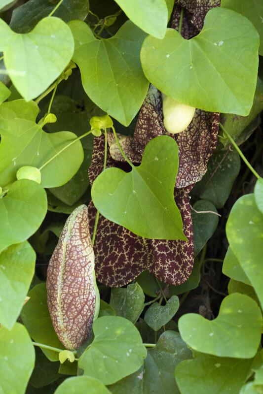 Vine (Aristolochia littoralis)