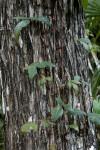 Vine Climbing Trunk of Tree