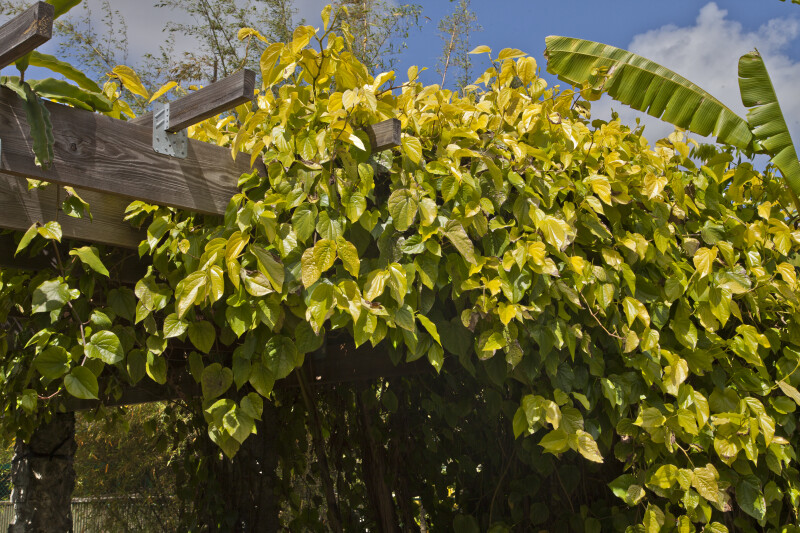 Vine Growing on a Trellis at The Fruit and Spice Park
