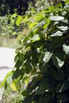 Vine (Passiflora alata)