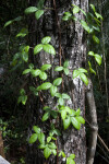 Vine with Bright Green Leaves Growing on Tree Trunk