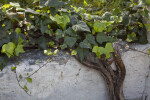 Vine with Dark and Light Green Leaves Growing on a Cement Wall