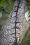 Vine with its Roots Spreading Across Tree Trunk in Several Places