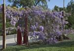 Vine with Multiple Clustered, Purple Flowers