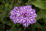 """Violet Star"" Verbena"