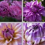 Violet photographs