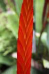 Vriesea splendide Leaf