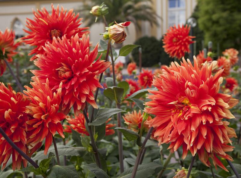 """Vulcan"" Dahlia Flowers"