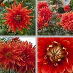Vulcan Dahlias photographs