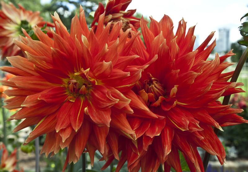 """Vulcan"" Semi-Cactus Dahlia"
