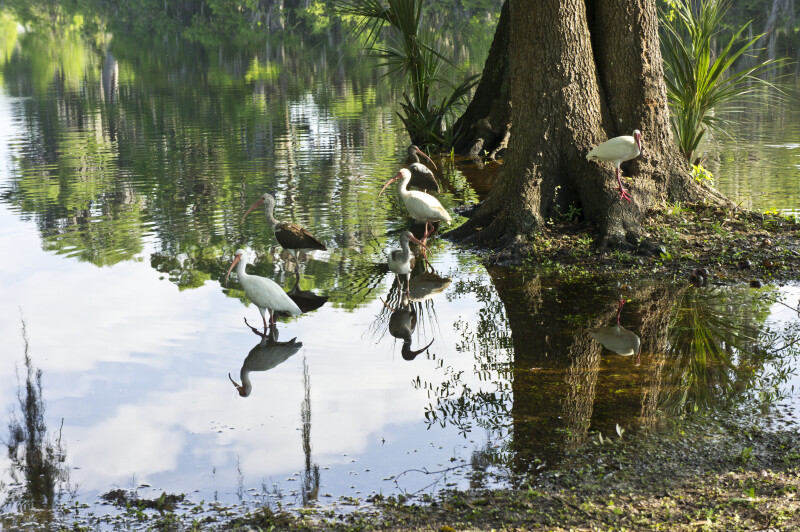 Wading Birds at Brooker Creek