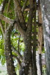 Wagatea spicata Tree