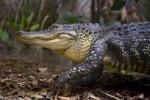 Walking Alligator