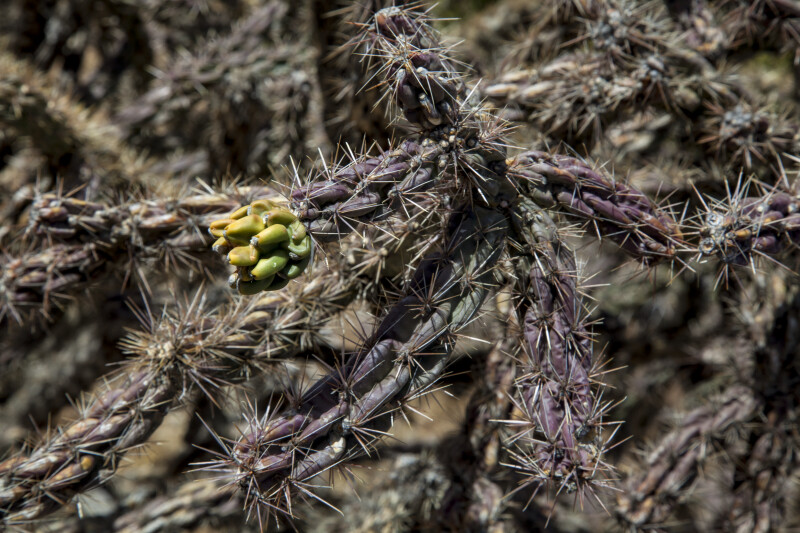 Walkingstick Cholla Fruit