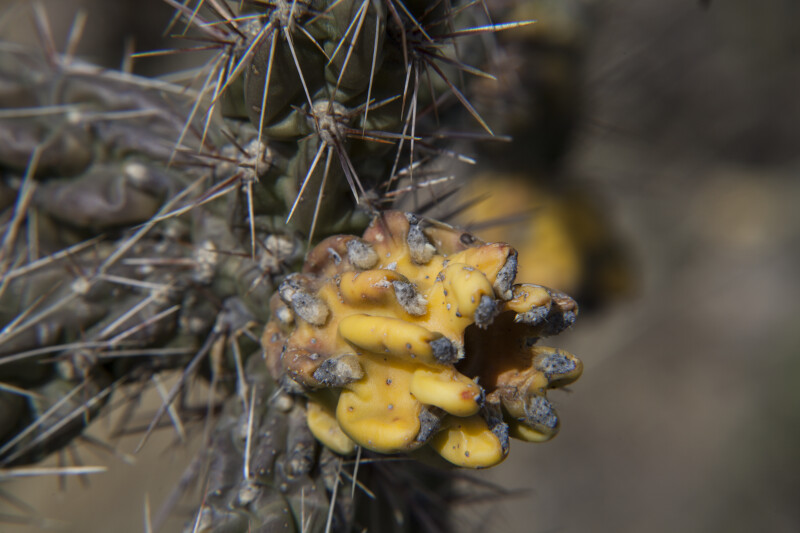 Walkingstick Cholla Fruit and Spines