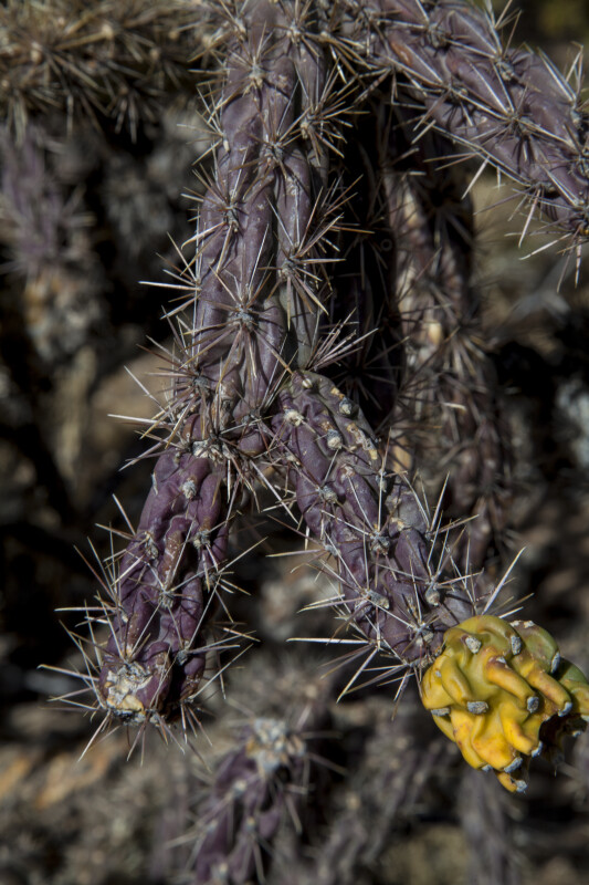 Walkingstick Cholla Spines
