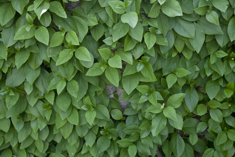Wall of Woodvamp Leaves