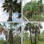 Washington/Mexican Fan Palms photographs
