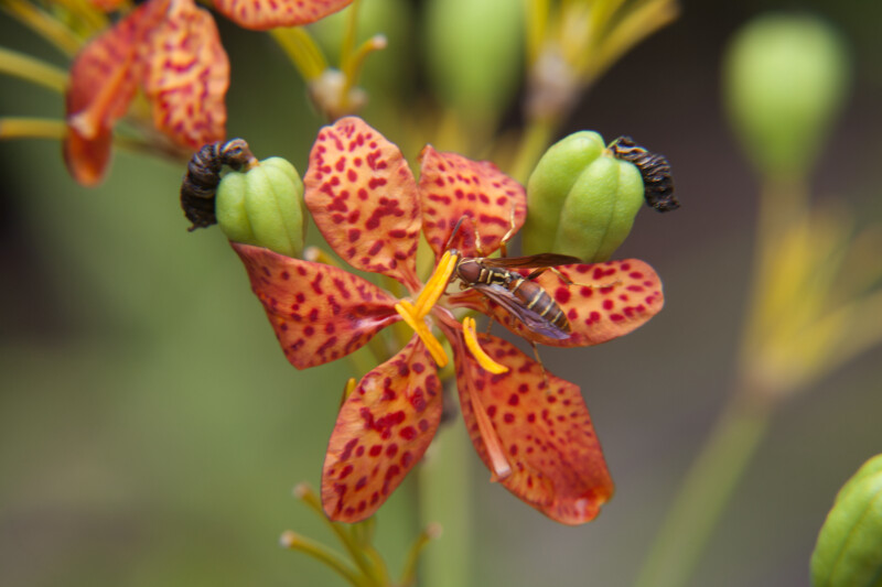 Wasp Attached to the Anther of a Blackberry Lily