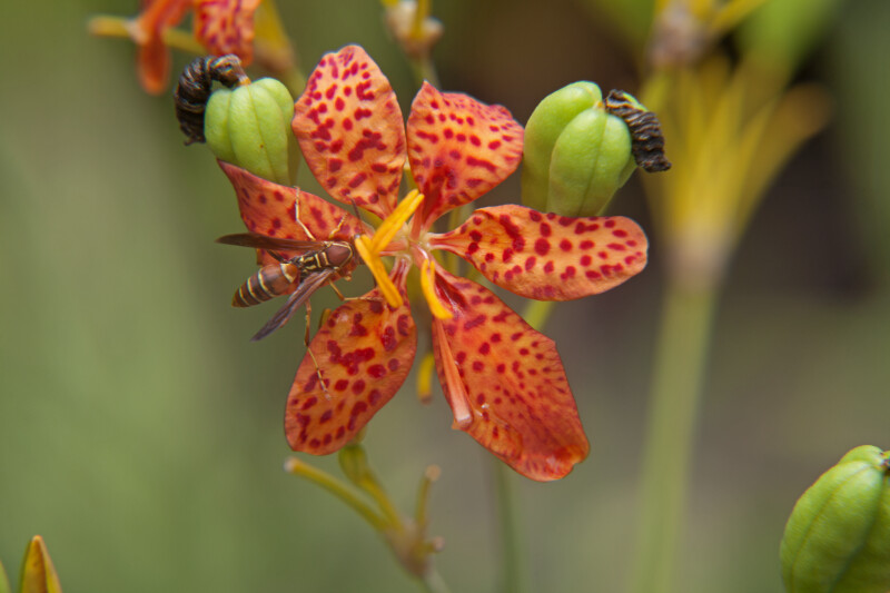 Wasp in Contact with the Anthers of a Blackberry Lily Flower