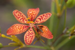 Wasp on the Petal of a Blackberry Lily Flower