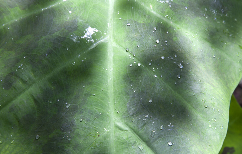 Water Droplets on an Elephant's Ear Leaf